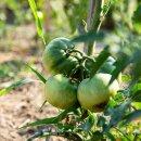 Fleisch-Tomate