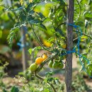 Cocktail-Tomate Gelbe Birne