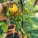 Gelbe Birnenförmige Cocktail-Tomate