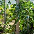 Grüne Tomate Green Zebra