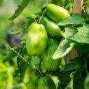 Flaschen-Tomate San Marzano
