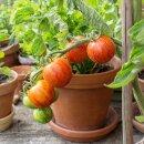 Gestreifte Salat-Tomate