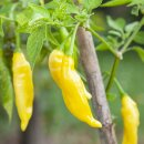 Lemon Drop Chili