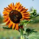 Sonnenblumen 6er Anzuchtset