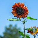 Sonnenblume Abendsonne