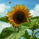 Sonnenblume Gelber Diskus