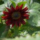 Sonnenblume Samtkönigin