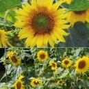 Sonnenblume Sunspot