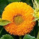 Sonnenblume Teddybär