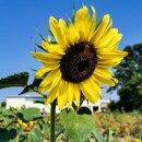 Sonnenblume Zitronenprinz