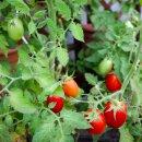 Busch-Tomate