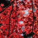 Rotblättriger Fächerahorn