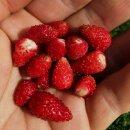 Balkon-Erdbeere