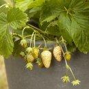 Weiße Erdbeere