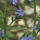 Bienenfreund Phacelia