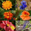 Delikatess-Blüten 6er Saatgut-Set